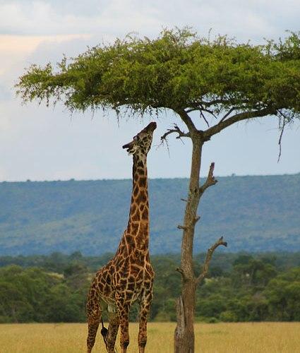 Une girafe, mangeant à un arbre. (Kenya)