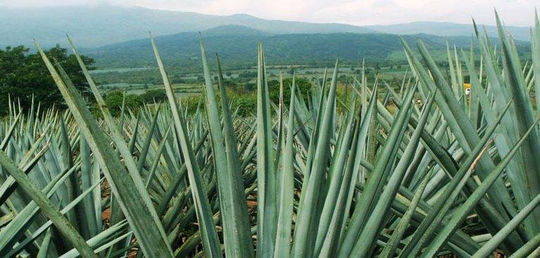Un champ d'agaves, dans la région de Tequila. (Mexique)