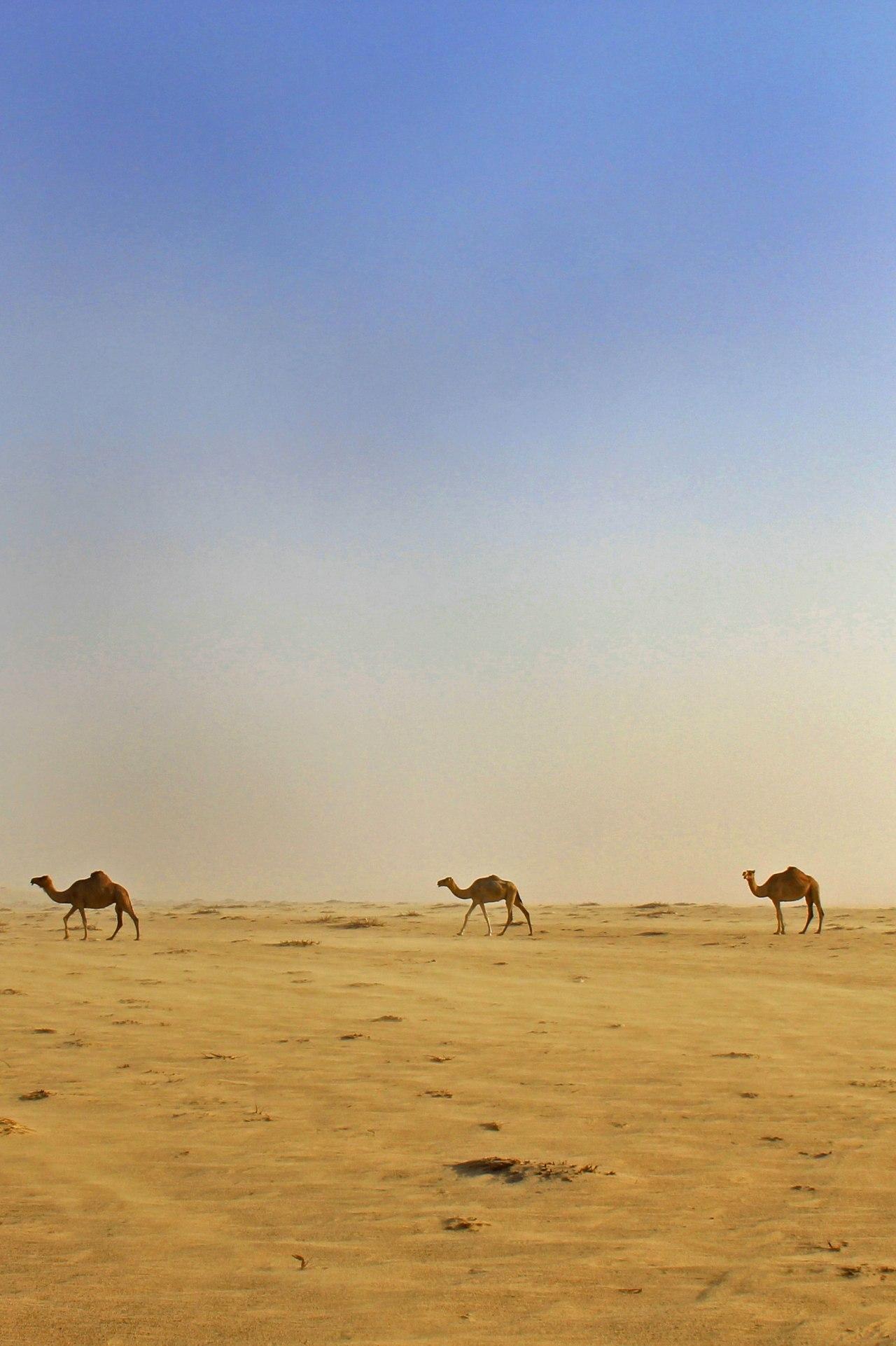 Tunisie: Chauds chauds lesdromadaires!