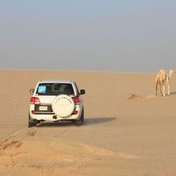 Un dromadaire albinos, au Qatar.