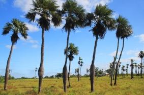 Cocotiers uniques, dans la campagne de Pinar del Rio