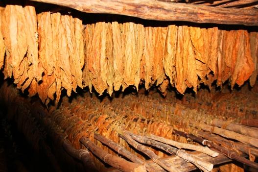 Feuilles de tabac, dans un séchoir (à Cuba)