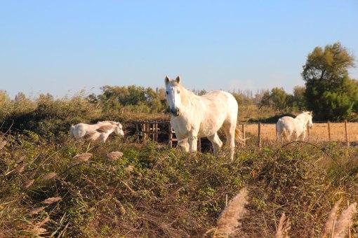 Des chevaux, dans la campagne de Camargue. (Provence)