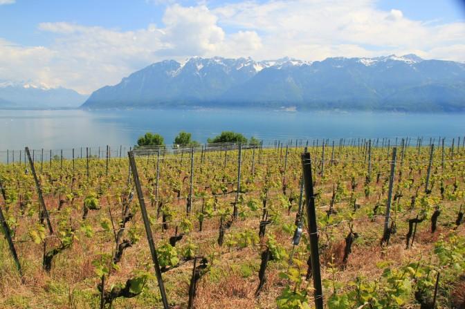 Dans un vignoble du Lavaux, sur le bord du lac Léman. (Suisse)
