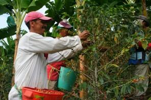 Des cueilleurs de café en pleine récolte, en Colombie.
