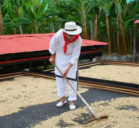 Démonstration des différentes étapes du café, en Colombie