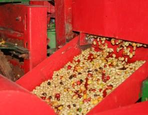 Séchage des grains de café, en Colombie.