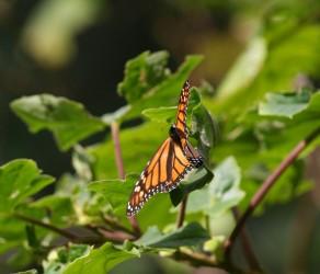 De magnifiques papillons monarques, dans le Sanctuaire del Rosario