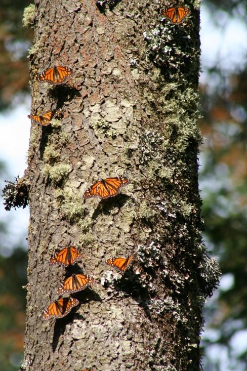 Les monarques viennent se réfugier dans les forêts fraîches de la Sierra Madre.