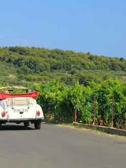 A travers les vignobles de Korcula, en Croatie