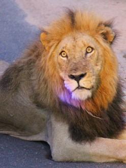 Un lion à l'aube, dans le Parc Kruger