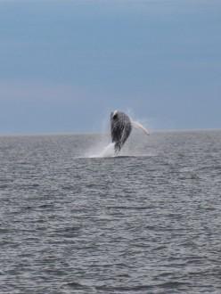 Croisières aux baleines, à partir du Parc de Forillon, à Gaspé.