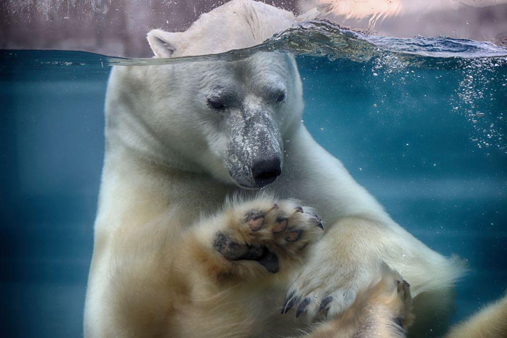 L'ours blanc Eddy, dans son nouvel habitat.