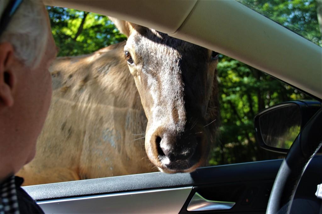Plusieurs cervidés n'hésitent pas à passer la tête dans la voiture