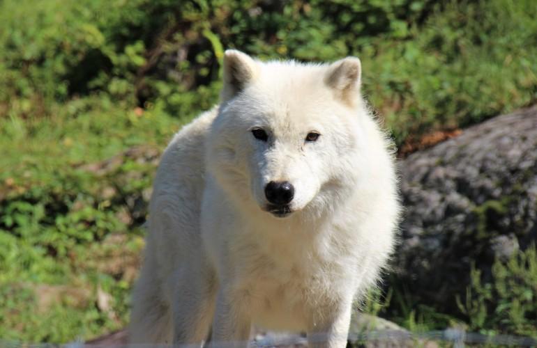 Loup blanc, au Parc Oméga, en Outaouais
