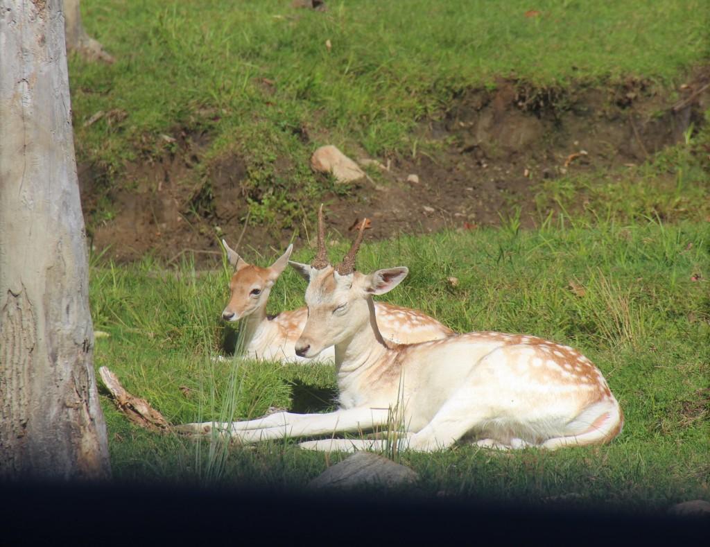 Daims dans l'herbe, au Parc Oméga