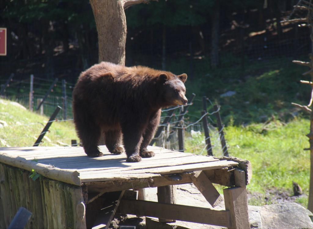 Ours brun au Parc Oméga, en Outaouais