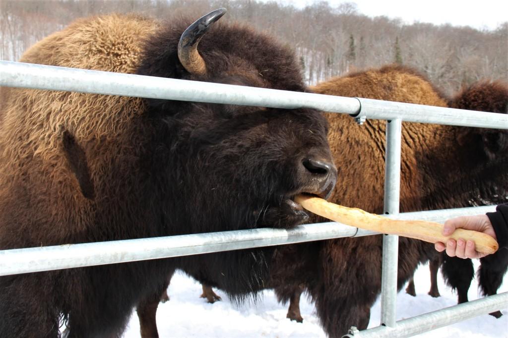 Les bisons de Kanatha-Aki sont de vrais gloutons,