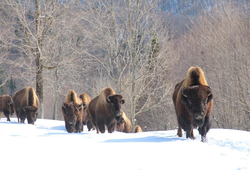 Le Domaine Kanatha-Aki possède un troupeau de bisons