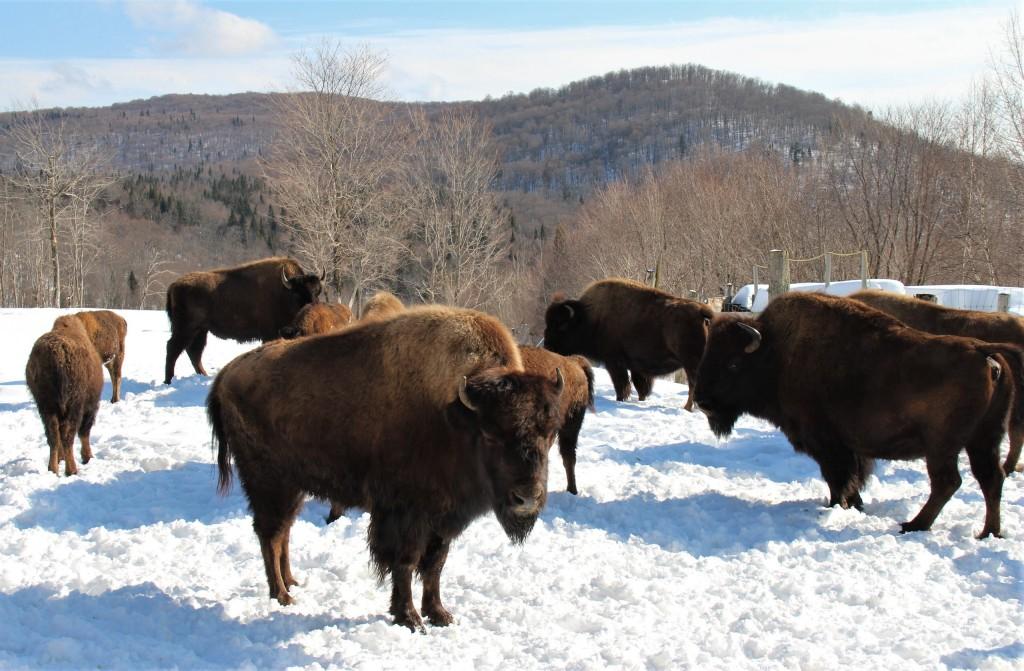 Troupeau de bisons de Kanatha-Aki, dans les Laurentides