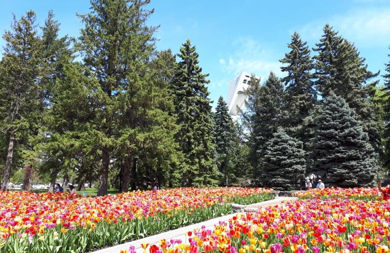 Tulipes au Jardin botanique de Montréal, avec stade Olympique